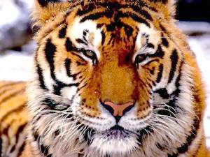 Tigers Screenshot